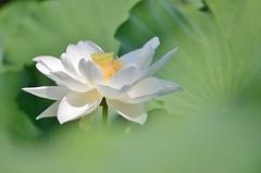 lotus flower (snowshoe hare*) Tags: lotus flowers kyoto dsc0582 hokongointemple flower leaves white 法金剛院 京都 蓮 ハス