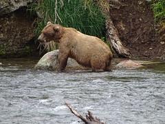 DSC07512 (jrucker94) Tags: alaska katmai katmainationalpark nationalpark bear bears grizzly grizzlybear brooksriver nature outdoors