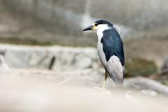 Bleu sur blanc et gris: Le jeune pingouin! (anniebevilacqua) Tags: oiseaudeau waterbird bihoreaugris blackcrowednightheron nycticoraxnycticorax steustache anniebevilacqua eau water chute waterfall