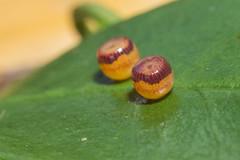 IMG_8024  雙尾蛺蝶卵 Polyura eudamippus formosana (Rothschild, 1899) (vlee1009) Tags: 2018 60d canon july taipei taiwan macro 內溝溪 butterfly eggs