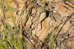 PVA_0005W Psammodromus algirus Sierra de Grazalema Spain (Priscilla (still more then 3yrs of photos to go th) Tags: psammodromusalgirus sierradegrazalema lizardsofspain spain herpinginspain reptilesofeurope