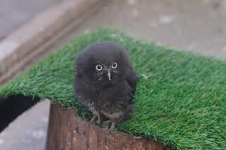 Baby Tengmalm's Owl