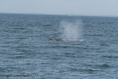 AHK_6009 (ah_kopelman) Tags: bpcresli2018072901 2018 balaenopteraphysalus cresli creslivikingfleetwhalewatch finwhale montaukny vikingfleet vikingstarship momcalfpair whalewatch