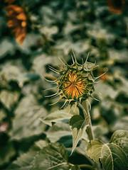 Kannai Kønjam Thiranthen ! (Prabhu B Doss) Tags: prabhubdoss travelphotography flower sunflower bud tamilnadu india fujifilm gfx50s gf3264mm