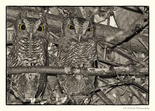 Eastern Screech-Owl / Petit-duc maculé/ Megascops asio /