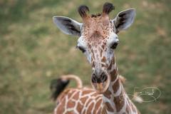 new baby (shutterbugdancer) Tags: giraffe reticulatedgiraffe africansavanna fortworthzoo fortworth