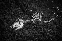 Doom (Fabrizio Ara) Tags: minoltamdrokkor245 minolta md rokkor 45mm f2 manualfocuslens vintagelens sony a7 ilce7 fahc bianconero mono black white bianco nero bw blackwhite blackandwhite blancoynegro monochrome bn dark monochromatic death creepy grime shadow disturbia postapocalyptic eerie weird damned cvlt culto hell satanic skull bones disturbed surrealism gothic mystery occult occultism paganism disturbing evil devil esoteric lucifer hermetism mysticism blackness alchemic esoterismo