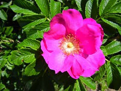 DSCN5676, Flower, July 2018 (a59rambler) Tags: massachusetts capecod flower