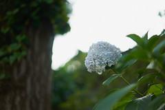 DSC04203 (@saka) Tags: autoupload flowers 69646981 leaves 1030 street 346