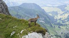 A young ibex at the Vanil Noir (Karl Le Gros) Tags: bouquetin vanilnoir préalpesfrbourgeoises 2018 cantondefribourg switzerland xaviervonerlach alpine