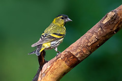Siskin (CJH Natural) Tags: eurasiansiskin erlenzeisig spinusspinus siskin bird nature wildlife vögel rspb perch branch