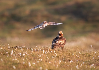 Golden Eagle and Short eared owl