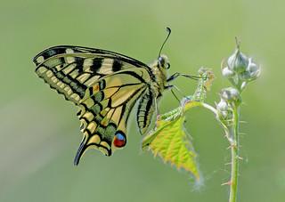 DSC6545  Swallowtail..
