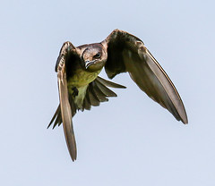 Incoming Female Purple Martin (tresed47) Tags: 2018 201807jul 20180727bombayhookbirds birds bombayhook canon7dmkii content delaware folder july martin peterscamera petersphotos places season summer takenby us