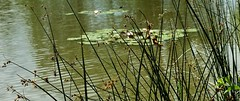 GERMANY, Am Renninger Waldsee, 76418/10423 (roba66) Tags: landschaft landscape paisaje nature naturroba66 germany deutschland reisen travel explore voyages roba66 badenwürttemberg natur naturalezza fields meadows feld felder wiesen reflexo wasser water see lake teich waterscape seerosenteich
