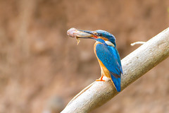 Catch of the Day-Male Kingfisher with Bullhead Fish (www.andystuthridgenatureimages.co.uk) Tags: kingfisher fish bullhead river stream perch tree devon