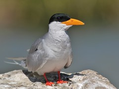 Indian River Tern (SivamDesign) Tags: canon eos 550d rebel t2i kiss x4 300mm tele canonef300mmf4lisusm kenko pro300 caf 14x teleplus dgx bird fauna indian river tern indianrivertern rivertern sternaaurantia ranganathittu