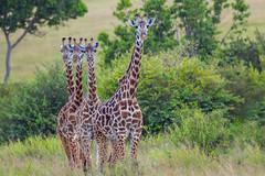 Giraffes (Mujtaba Hussain Shah) Tags: tower giraffes groupofgiraffes longnecks tallestofthemall herbivore ngc npc wildlife african kenya africa safari foliage acaciatree masaigiraffe africanwildlife wildafrica wildlifeanimal wildlifephotography criticallyendangered gamedrive coth nature camelopardalistippelskirchii kilimanjarogiraffe maasaigiraffe jaggedspots exceptionaleyesight subsonicvocalizations largestbodiedgiraffespecies giraffa perfectshot graceful beauty playfights exoticafricanwildlife masaimara gamereserve