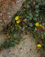 UnkOnagraceae (Wolfram Burner) Tags: scgis asilomar asp calstateparks wildflowers california beachflowers duneflowers