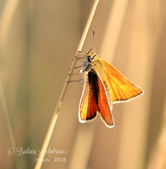 small skipper (~ **Barbara ** ~) Tags: butterfly small copper skipper commonblue wildlife countryside naturereserve northamptonshire summerleys sunshine summer canon7dii