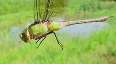 Female Common Green Darner at Oros Preserve (Tombo Pixels) Tags: oros18045 female common green darner commongreendarner orosnaturepreserve woodbridge nj newjersey twb1 middlesexcounty dragonfly ode odonata odonate
