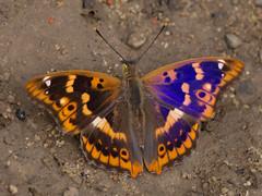 Apatura ilia (Kalmárné Margó) Tags: olympusepl6 macro nature natur natura butterfly mariposa schmetterling