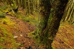 Temperate Rainforest (Caleb McElrea) Tags: cradlemountainlakestclairnationalpark cradlemountain unesco worldheritagesite tasmaniansouthwestwilderness tasmania wilderness