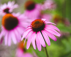 Plant a Garden for the Bees (HW111) Tags: flowers summer echinacea 7dwf coneflower