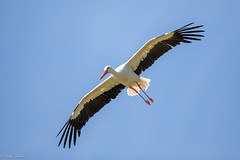 White Stork (Linda Martin Photography) Tags: whitestork wildlife hawkconservancy nature andover hampshire ciconiaciconia bird uk animal naturethroughthelens alittlebeauty coth specanimal coth5 ngc