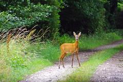 Roe Deer (eric robb niven) Tags: ericrobbniven scotland roe deer animal wild life nature springwatch