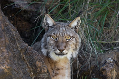 Boreal Lynx (Rudolf Photography) Tags: canon canon100400 photo photography photographer animal animals wildlife wildlifephotography nature naturephotograpy pic picture picoftheday photooftheday contrast contrasts bw colors colorful forest lynx boreal cat eye eyes mountain carnivorous hunter