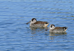 Pink-eared Ducks (Rodger1943) Tags: ducks pinkearedduck australianbirds fz1000