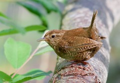 Wren (Troglodytidae) - Taken at Barnwell Country Park, Nr. Oundle, Northants. UK (Ian J Hicks) Tags: