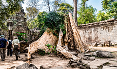 Giant Roots that Appears to Have Taken Down One of the Structures of Ta Prohm Temple, Cambodia-33a (Yasu Torigoe) Tags: sony a99ii a99m2 sonyilca99m2 siemreap siem reap angkor archeological archeology park history ancient architecture temple religion religious buddhism buddhist buddha historical ta prohm taprohm jungle trees tree tombraider banyan tomb crypt laracroft lara croft suryavarman vishnu stonework buildings surreal sculpture structure deityroots landscape overgrown vines art theravada photograph photography dynamic travel asia cambodia southeast deity ruins khmer roots