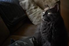 Plotting (flashfix) Tags: august072018 2018inphotos ottawa ontario canada nikond7100 28mm kittynose fyero nebelung ragamuffin ragdoll fluffy graycat couch naturallight shorts portrait