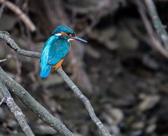 Kingfisher standing out against its dull surroundings! (jackrichards8) Tags: blue electric sigma canon wildlife nature kingfisher