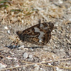 Grayling (crs17) Tags: grayling butterfly bug insect lepidoptera dorset chalkland