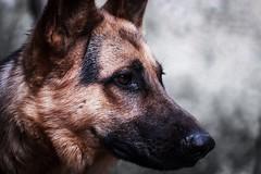 Max #photography #photo_art #doglovers #dogs #photographyoftheday #photo #portrait (salam.jana) Tags: photography photoart doglovers dogs photographyoftheday photo portrait