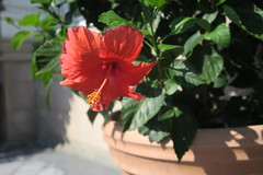 visions of hawaii, 8/9/18 (hollow sidewalks) Tags: nyc bronx nybg newyorkcity newyorkbotanicalgarden botanicalgardens hollowsidewalks plant plants flowers flower