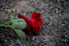 The red rose (emina.knezevic) Tags: rose flower nature redrose flowerphotography closeupphotography closeup nikon nikond3200 nikonphotographer
