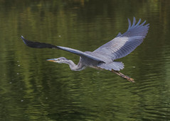 Grey Heron ( Ardea cinerea ) (Dale Ayres) Tags: grey heron ardea cinerea bird nature wildlife water