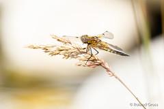 Libelle 75 (rgr_944) Tags: libelle dragonfly libellule insekten tiere macro natur outdoor canoneos60deos70deos80deos7dmk2eos5dmk4 rgr944
