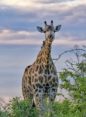 SOUTHERN GIRAFFE: (John C. Bruckman @ Innereye Photography) Tags: botswana okavangodelta southerngiraffe giraffe malesfightingfordominance longnecks socialstructure breedinghabits necking headbutting coth5
