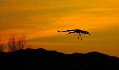 Lonesome George -- Sandhill Crane (Grus canadensis); Bosque del Apache NWR, NM [Lou Feltz] (deserttoad) Tags: bird wildbird crane waterfowl clouds nature behavior refuge newmexico silhouette sunset desert flight