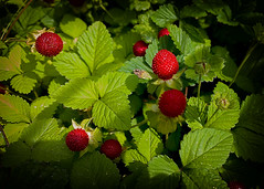 uneatable :( (monorail_kz) Tags: uzbekistan tashkent centralasia frontgarden greenery strawberry