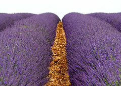 Up (jocsdellum) Tags: up lavender lavanda fields flowers campos camps flors flores purple púrpura lila violet valensole francia france summer estiu verano
