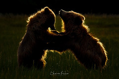 Golden Touch (Sharon's Nature) Tags: silversalmoncreeklodge lakeclarknationalpark goldenhour canon brownbears alaska backlight cubs grizzly mammal