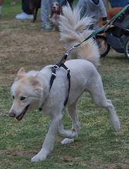 Big Tail (Scott 97006) Tags: tail white canine animal dog leash harness