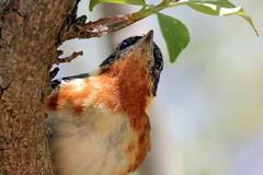 He's Watching (Jan Nagalski) Tags: bird birdmigration springmigration warbler baybreast baybreastedwarbler eyes tree marsh mageemarsh northwestohio ohio nature wildlife jannagalski jannagal
