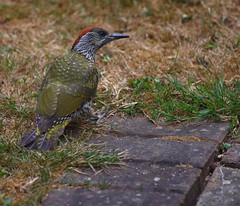 IMG_5015 (Harvey Young) Tags: greenwoodpecker woodpecker britishbirds green red greenandred grass bird food eating